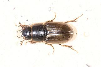 Aphodius prodromus - kein dt. Name bekannt, Käfer auf Klostermauer