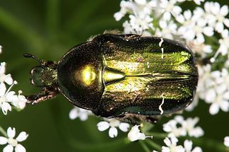 cf. Cetonia aurata - Goldglänzender Rosenkäfer, Käfer auf Blüten (1)