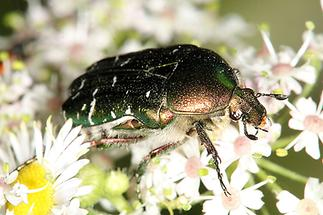 Cetonia aurata - Goldglänzender Rosenkäfer, Käfer auf Blüten (3)
