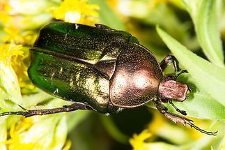 Cetonia aurata - Goldglänzender Rosenkäfer, Käfer auf Blüten (4)