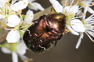 Cetonia aurata - Goldglänzender Rosenkäfer, Käfer auf Blüten (5)