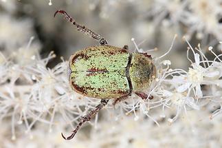 Hoplia argentea - Goldstaub-Laubkäfer, Käfer auf Blüten
