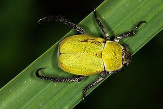 Hoplia argentea - Gelbgrüner Purzelkäfer, Käfer auf Gras