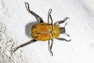 Hoplia argentea - Goldstaub-Laubkäfer, Käfer auf Mauer