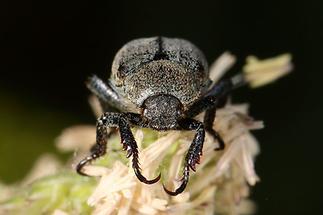 Hoplia philanthus cf. - Silbriger Purzelkäfer, Käfer Portrait