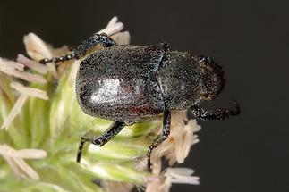 Hoplia philanthus cf. - Silbriger Purzelkäfer, Käfer auf Blüte