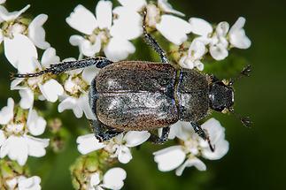 Hoplia philanthus - Silbriger Purzelkäfer, Käfer auf Blüten
