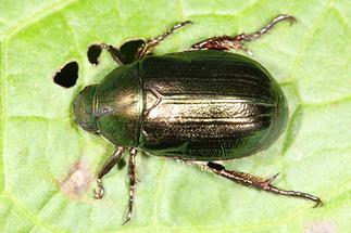 Mimela aurata - kein dt. Name bekannt, Käfer auf Blatt