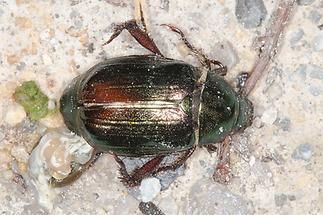 Mimela aurata - kein dt. Name bekannt, Käfer auf Fahrweg