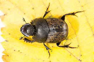 Onthophagus fracticornis - Dungkäfer, Käfer auf Blatt