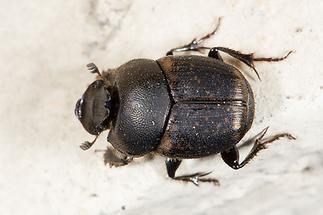 Onthophagus fracticornis - Dungkäfer, Käfer auf Mauer (1)