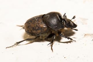 Onthophagus fracticornis - Rein, Käfer auf Mauer (2)