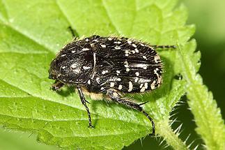 Oxythyrea funesta - Trauer-Rosenkäfer, Käfer auf Blatt