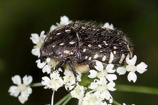 Oxythyrea funesta - Trauer-Rosenkäfer, Käfer auf Blüten