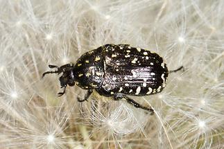 Oxythyrea funesta - Trauer-Rosenkäfer, Käfer auf Pusteblume