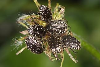 Oxythyrea funesta - Trauer-Rosenkäfer, sechs Käfer
