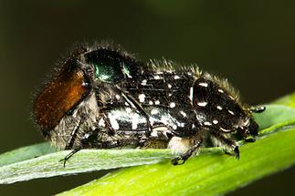 Phyllopertha horticula und Oxythyrea funesta - Gartenlaubkäfer und Trauer-Rosenkäfer, Käfer Paar (1)
