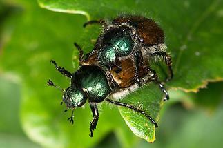 Phyllopertha horticula - Gartenlaubkäfer, Käfer Paar (2)