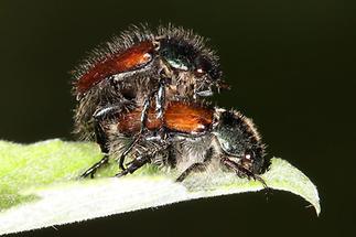 Phyllopertha horticula - Gartenlaubkäfer, Käfer Paar (3)