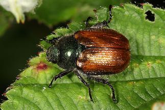 Phyllopertha horticula - Gartenlaubkäfer, Käfer auf Blatt (1)