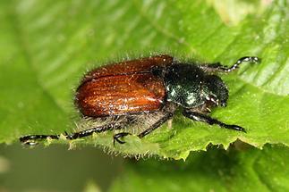 Phyllopertha horticula - Gartenlaubkäfer, Käfer auf Blatt (2)