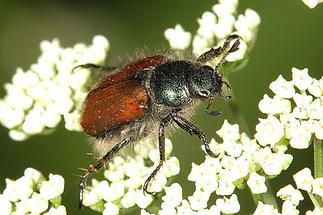 Phyllopertha horticula - Gartenlaubkäfer, Käfer auf Blüten