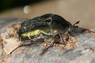 Protaetia cuprea metallica - Kupfer-Rosenkäfer, Käfer auf Baumrinde (1)