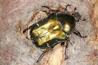 Protaetia cuprea metallica - Kupfer-Rosenkäfer, Käfer auf Baumrinde (2)