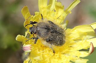 Tropinota hirta - Zottiger Rosenkäfer, Käfer auf Blüte