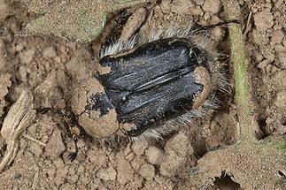 Tropinota hirta - Zottiger Rosenkäfer, Käfer aus Erde