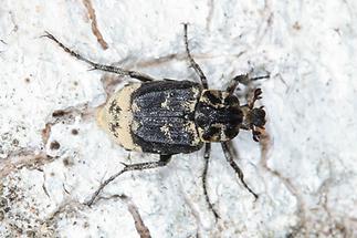 Valgus hemipterus - Stolperkäfer, Käfer Männchen auf ...
