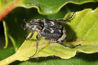Valgus hemipterus - Stolperkäfer, Käfer Männchen auf Blatt (1)