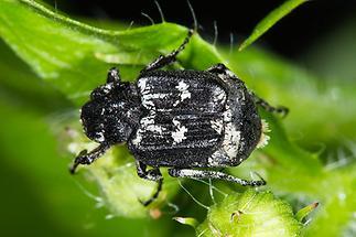 Valgus hemipterus - Stolperkäfer, Käfer Männchen auf Blatt (2)