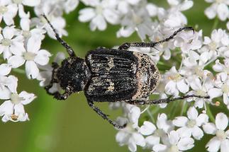 Valgus hemipterus - Stolperkäfer, Käfer Männchen auf Blüte