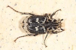 Valgus hemipterus - Stolperkäfer, Käfer Männchen auf Mauer