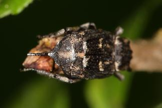 Valgus hemipterus - Stolperkäfer, Käfer Weibchen