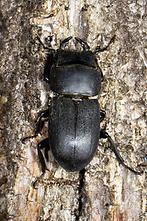 Dorcus parallelipipedus - Balkenschröter, Zwerghirschkäfer, Käfer Männchen auf Baumrinde