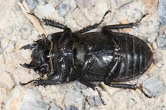Dorcus parallelipipedus - Balkenschröter, Zwerghirschkäfer, Käfer Unterseite