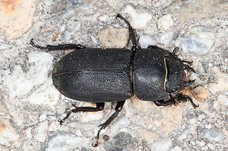 Dorcus parallelipipedus - Balkenschröter, Zwerghirschkäfer, Käfer Weibchen auf Fahrweg (1)