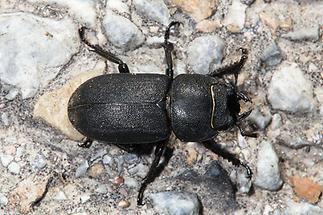 Dorcus parallelipipedus - Balkenschröter, Zwerghirschkäfer, Käfer Weibchen auf Fahrweg (2)