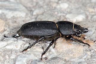 Dorcus parallelipipedus - Balkenschröter, Zwerghirschkäfer, Käfer Weibchen auf Fahrweg (3)