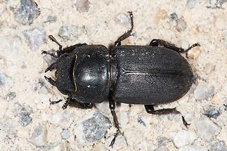 Dorcus parallelipipedus - Balkenschröter, Zwerghirschkäfer, Käfer Weibchen auf Fahrweg (4)