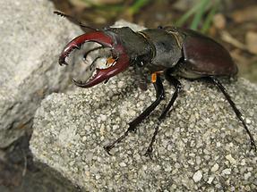 Lucanus cervus - Hirschkäfer, Männchen frisch aus dem Erdreich geschlüpft