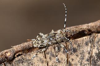 Aegomorphus clavipes - Keulenfüßiger Scheckenbock, Käfer auf Holz