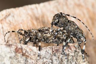 Aegomorphus clavipes - Keulenfüßiger Scheckenbock, Paar (2)