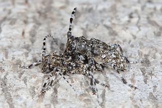 Aegomorphus clavipes - Keulenfüßiger Scheckenbock, Paar (3)