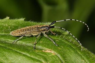 Agapanthia villosoviridescens - Scheckhorn-Distelbock, Käfer auf Blatt (1)