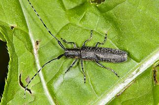 Agapanthia villosoviridescens - Scheckhorn-Distelbock, Käfer auf Blatt (2)