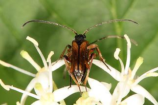 Alosterna tabacicolor - Feldahorn-Bock, Paar (2)