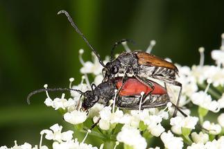 Anastrangalia sanguinolenta - Blutroter Halsbock, Paar (3)